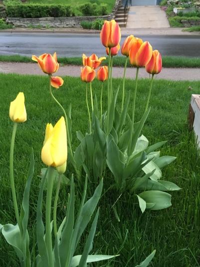tulips yellow.JPG