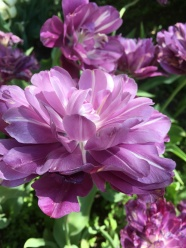 purple double tulip 2017.JPG