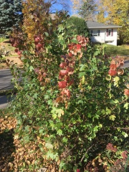 spice bush.JPG